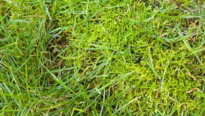 rid of moss lawns